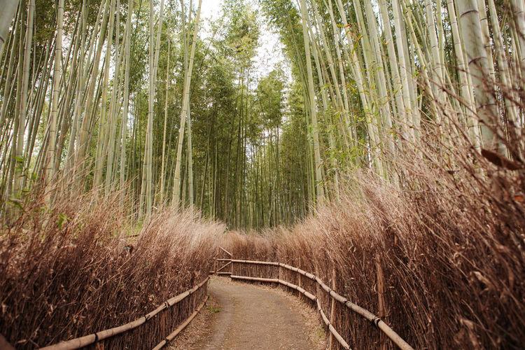 Arashiyama bamboo forest in kyoto kansai japan. serene background