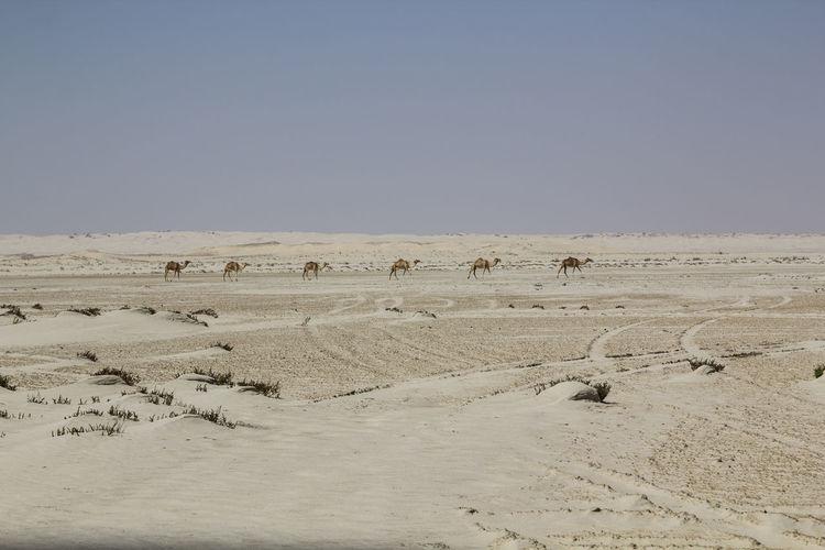 Flock of birds in desert against clear sky