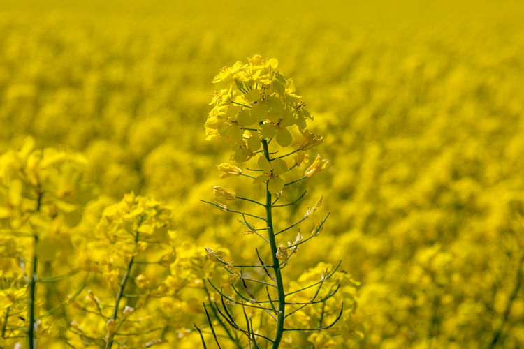 A close up of a canola/rapeseed flower, with a vivid yellow field behind Agriculture Beauty In Nature Canola Close-up Crop  Day Farm Field Flower Flower Head Flowering Plant Fragility Freshness Growth Land Landscape Nature No People Oilseed Rape Outdoors Plant Springtime Sussex Vulnerability  Yellow
