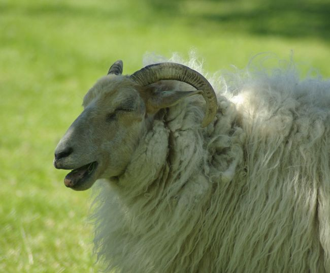 beeehhhhh Schaap Sheep Wol Totziensinstiens Beauty In Nature Animal Safari Animals Close-up Grass