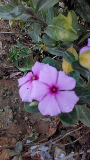 Flower Petal Flower Head Growth Nature Beauty In Nature Fragility Plant No People Freshness Day Outdoors Close-up PetuniaRose - Flower High Angle View Beauty In Nature Nature Periwinkle By : me