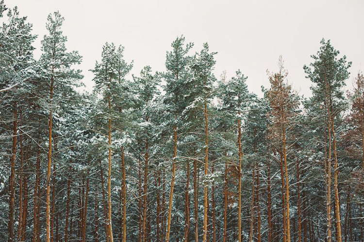 Low angle view of bamboo trees in forest during winter
