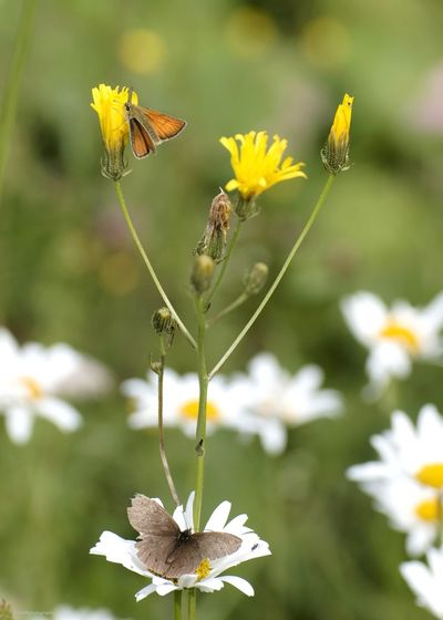 Canonphotography Summer Insekten Insect Photography Macro Photography The Week Of Eyeem Wild Nature Butterfly Braundickkopffalter Cute Insects Macro Beauty Schmetterling Falter