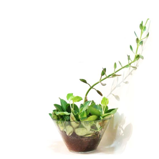 Plants Kalanchoe Stock Drinking Glass Mint Leaf - Culinary White Background Leaf Drink Mojito Herb Green Color Food And Drink Ice Ice Cube Plant Refreshment Cocktail Alcohol Summer Studio Shot Freshness No People Nature First Eyeem Photo