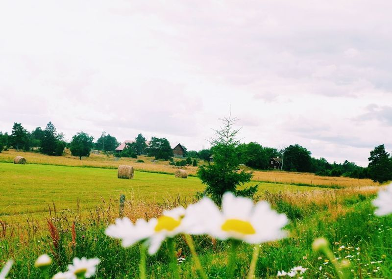 Field Tree Beauty In Nature Flower Nature Cloud - Sky Rural Scene Agriculture Tranquility Tranquil Scene Landscape Growth Scenics No People Outdoors Fragility Day Freshness Grass Sky