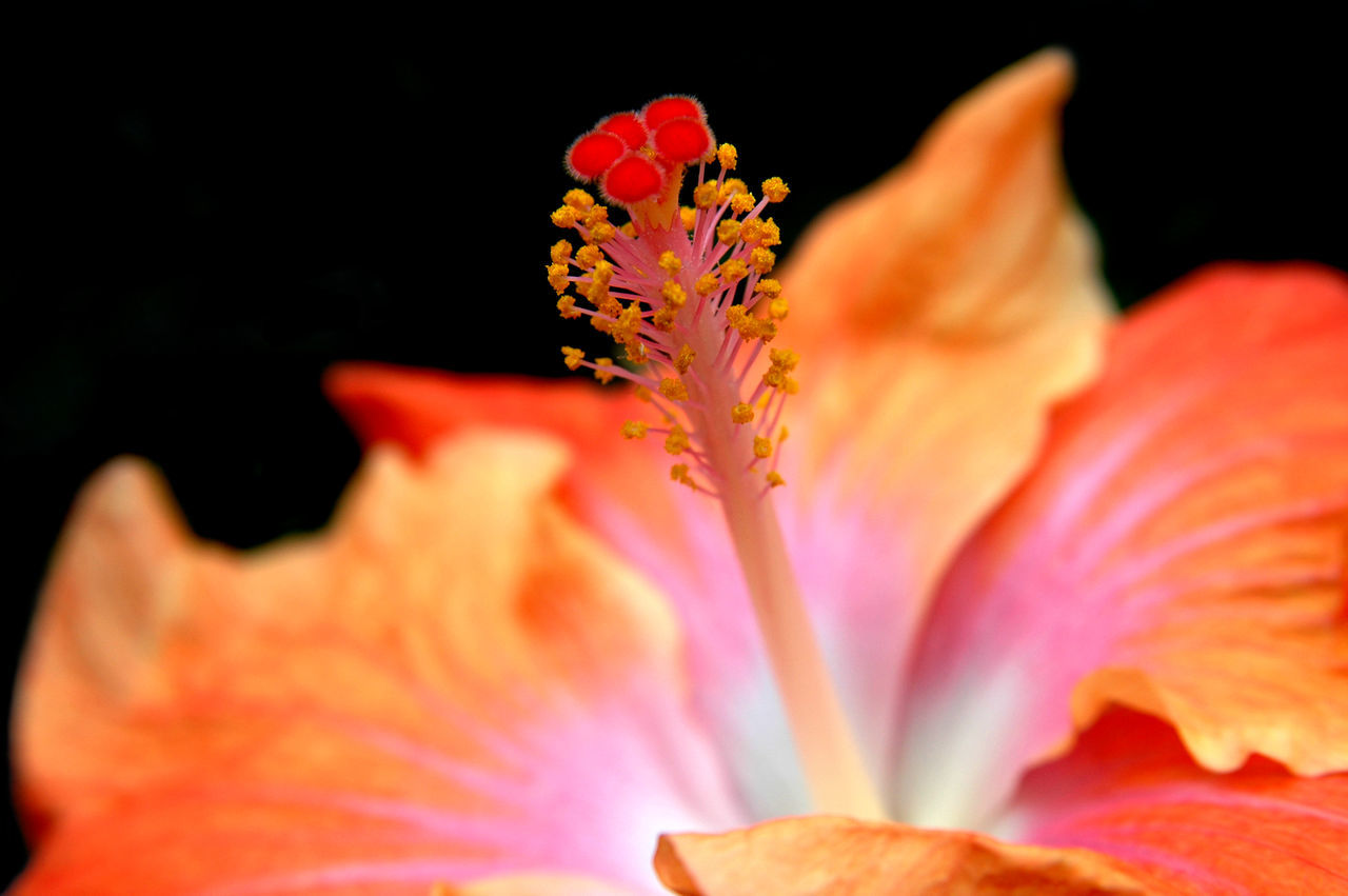 flower, petal, flower head, fragility, freshness, beauty in nature, orange color, nature, growth, pollen, blooming, close-up, stamen, no people, plant, outdoors, day, day lily