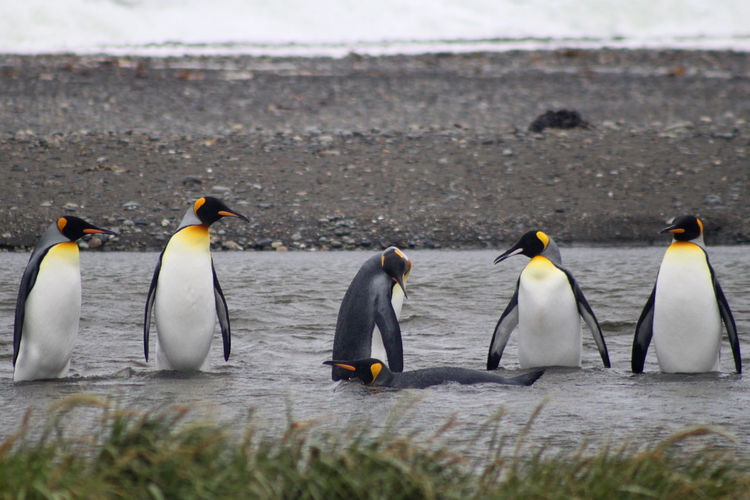 5 Beauty In Nature Bird Close-up Day Focus On Foreground FUNNY ANIMALS King Penguin King Penguins Lined Up In A Row Nature No People Outdoors Penguins Pingüinos Pinguinos Rey Selective Focus Side By Side Tuxedo Water Bird Wildlife Young Animal Nature's Diversities 6 Watching