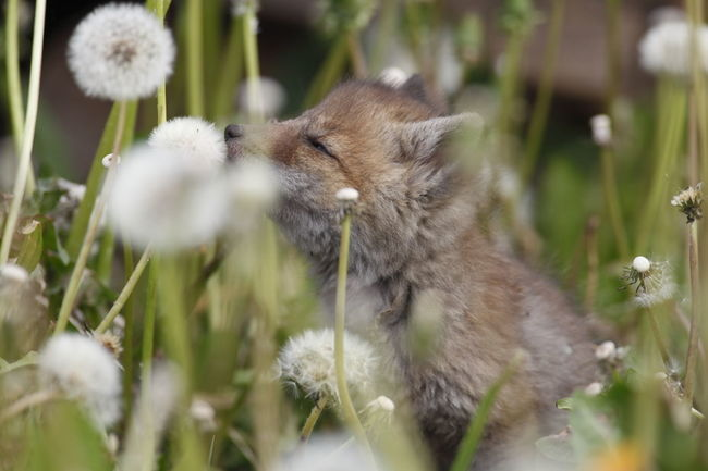 Entdecken Mammal Nature Pusteblume Rotfuchs SchnuppernSpringtime Wildlife Tiere Natur Fuchs Fuchswelpe