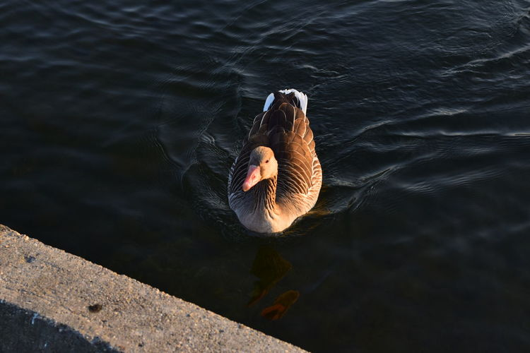 High angle view of greylag goose swimming in lake