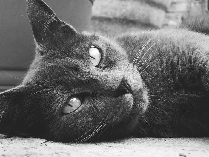 One Animal Animal Themes Domestic Cat Mammal No People Feline Close-up Domestic Animals Pets Portrait Day Outdoors Cats Of EyeEm Low Angle View Nature Black And White Portrait Bnw_collection Leopard