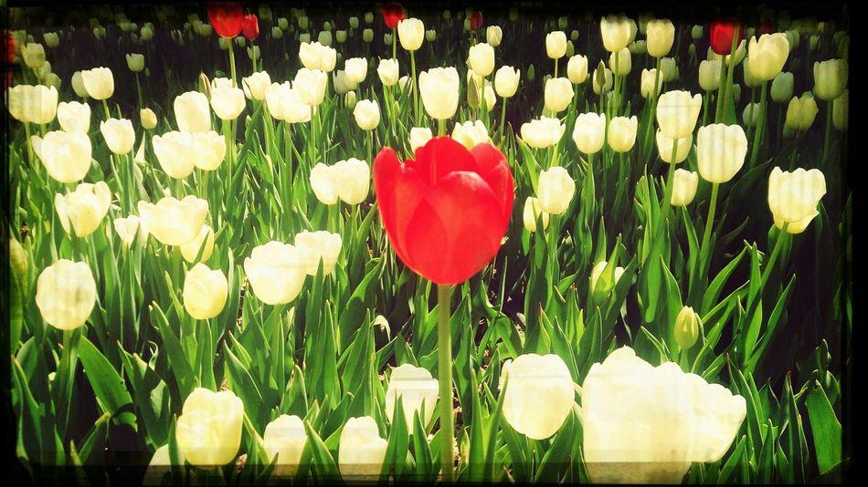 Lale farklı olmak iyidir ;) Enjoying The Sun Walking Around Flowers
