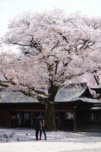 仲良し Tree Two People Real People Sky 사랑 Love サクラ 桜 Blossom Cherry Blossoms Springtime 벚꽃 Day Outdoors Sun