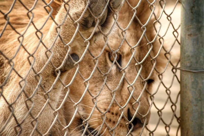 High Five Wildlife Health Check Lion Fence Animal Animal Themes Mammal Barrier Boundary One Animal Protection Focus On Foreground Animal Wildlife Animal Body Part Metal Animals In Captivity Security Close-up Day No People Chainlink Fence