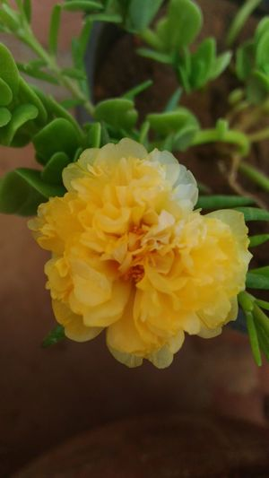 Yellow Mossrose Flower Plant Flowering Plant Freshness Close-up Beauty In Nature Nature Flower Head
