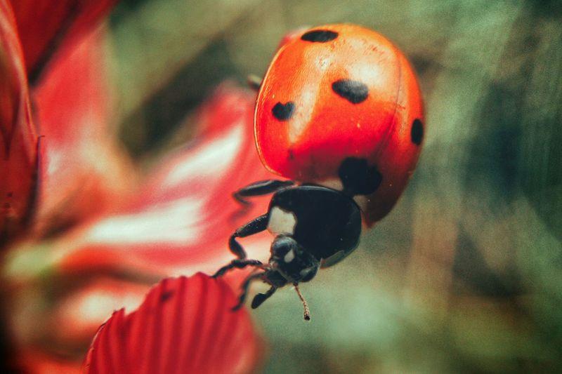 божьякоровка божья коровка макро макросъемка Makro Makro Photography Ladybug
