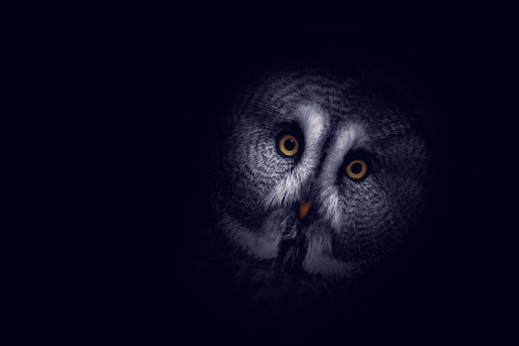 Portrait of owl on black background