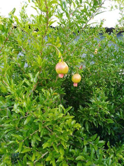 My Backyard My Garden PomegranateTrees PomegranateTree PomegranateFruitTrees Pomegranate Trees Fruit Pomegranate Tree Pomegranate Fruit PomegranateFruit Growing
