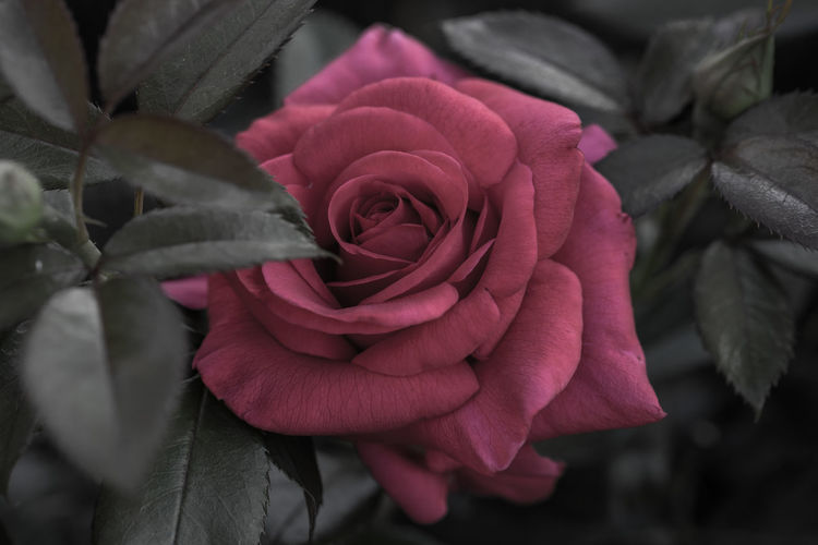 Flower Flowering Plant Beauty In Nature Plant Rosé Petal Freshness Vulnerability  Fragility Close-up Rose - Flower Flower Head Pink Color Growth Focus On Foreground Leaf Blooming