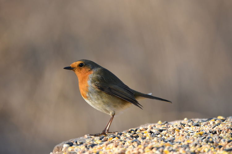 Robin Living Organism Animal Themes Animals In The Wild One Animal Animal Wildlife Songbird  Bird Perching Surface Level Sunny Standing Animal Winter Side View Sunbeam Full Length Focus On Foreground Branch Eating Natural Pattern Rainham Marshes RSPB