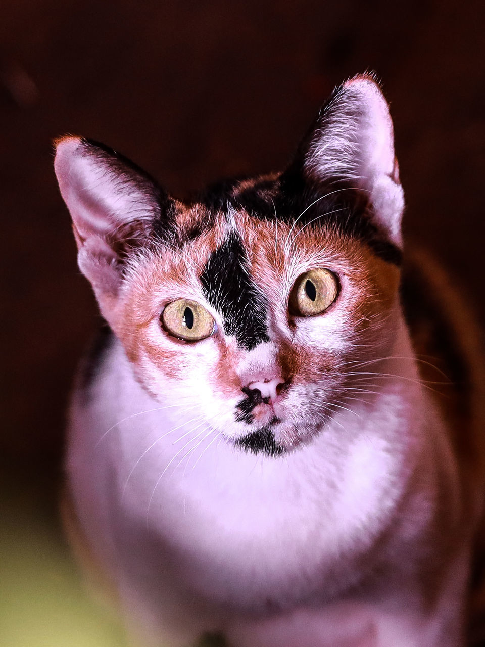 cat, pet, animal themes, animal, mammal, domestic animals, one animal, whiskers, close-up, domestic cat, feline, felidae, small to medium-sized cats, portrait, looking at camera, animal body part, nose, kitten, carnivore, no people, indoors, eye, cute, young animal, animal head, animal eye