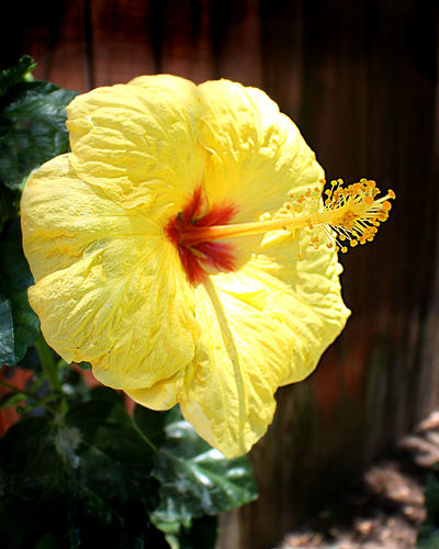 Close-up Flowers Garden Hibiscus No People Wide Angle Yellow Flower Yellow Hibiscus