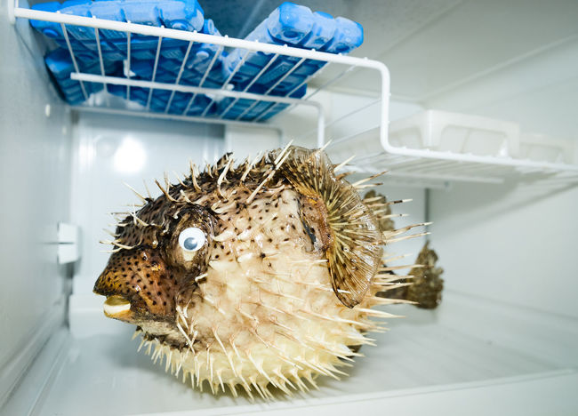 Blowfish in a fridge Angry Fish Blowfish Cold Cool Down Cooling  Day Dead Fish Freezer Fresh Fridge Frozen Frozen Nature Ice Ice Cube Prick Refreshing Refreshment Stick Sticky Stuffed
