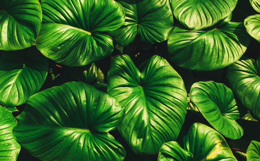 Tropical green leaves, faded dark green filter effect. For background. Plant Freshness Nature Leaf Close-up Backgrounds Green Color Pattern Large Group Of Objects Beauty In Nature Flora Forest Texture