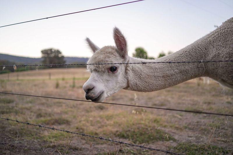 Alpaca by fence on land