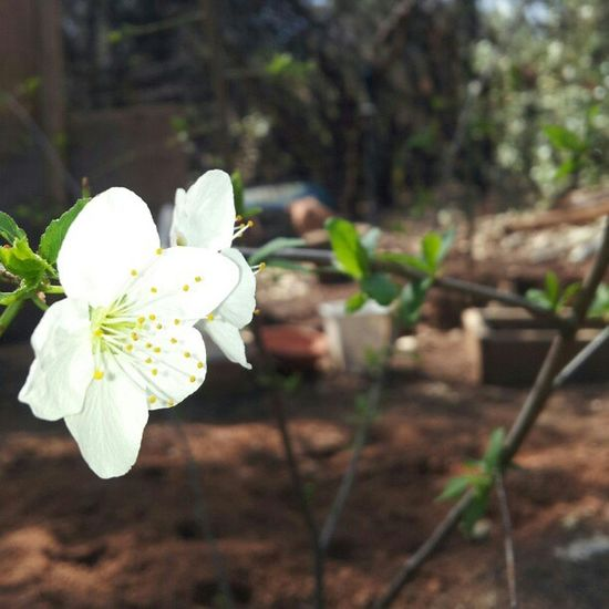 Plum tree Blossoms  for the first time! Love Growth Californialife Plantfortomorrow