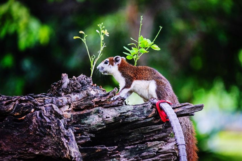 A brown squirrel on a branch Animal Animal Themes Animal Wildlife Animals In The Wild One Animal Focus On Foreground Tree Zoology Wood - Material Branch Nature Day Close-up Vertebrate Squirrel Plant Mammal Rodent No People Outdoors