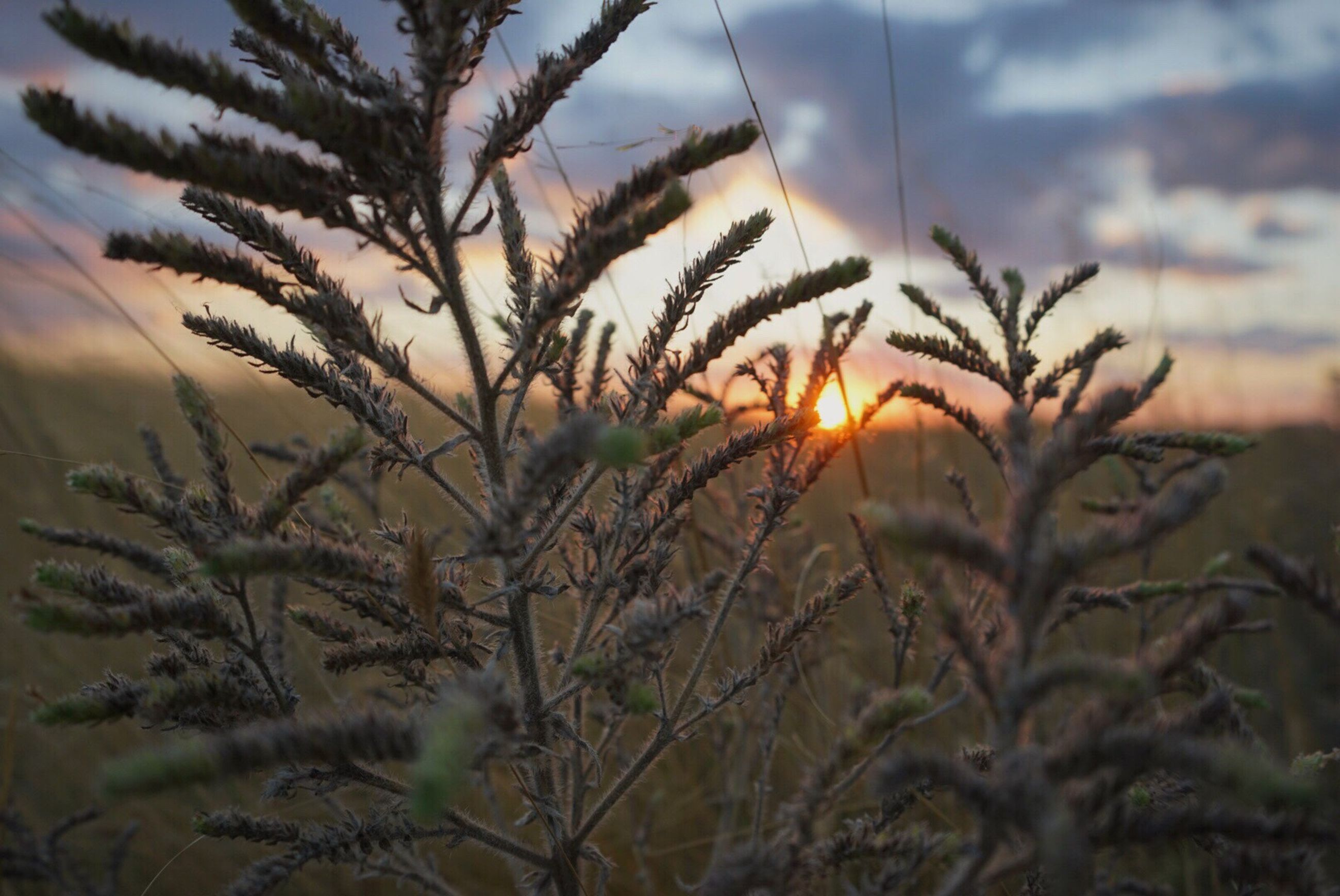 sunset, growth, plant, sun, stem, close-up, focus on foreground, beauty in nature, nature, field, sky, scenics, uncultivated, tranquility, tranquil scene, meadow, botany, sunrise - dawn, fragility, outdoors, back lit, freshness, growing, non-urban scene, moody sky, no people, majestic