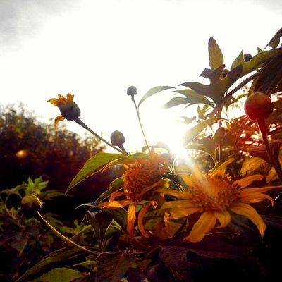 selamat Pagi Matahariterbit Matahari Mata - HARI Jingga Bandung KopiPagi Sunrise_and_sunsets Sun Flower Sunflower Bojongkoneng Cikutra Bandungtimur Nature Backtonature Lestarikanalam Fatamorphosis INDONESIA Lenovotography Photooftheday Photophone  Lzybstrd Pocketphotography