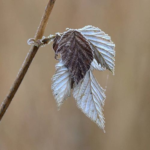 ❄❄❄Frosty❄❄❄ Leaf_perfection Mistyfoggymilkymoody Fa_fadeaway Heart_imprint Gloomgrabber Macro Beauty