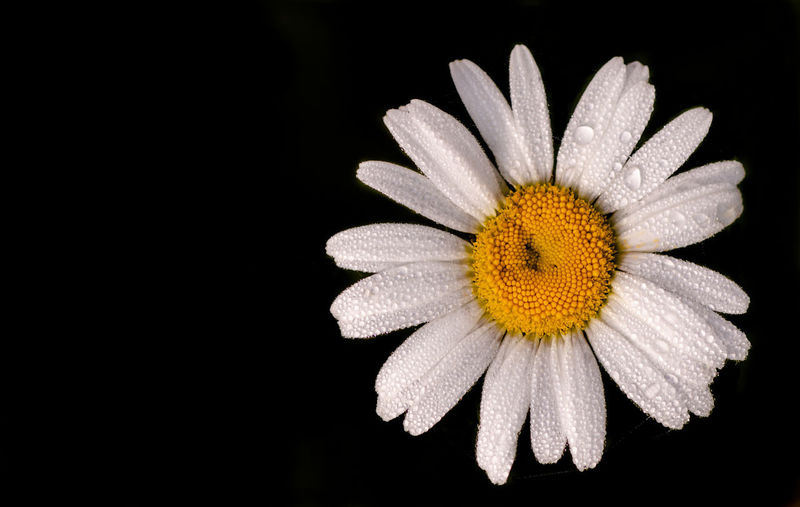 Close-up of white daisy against black background