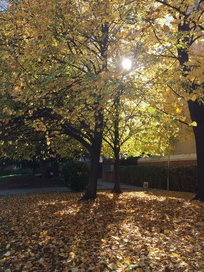 Autumn sun Tree