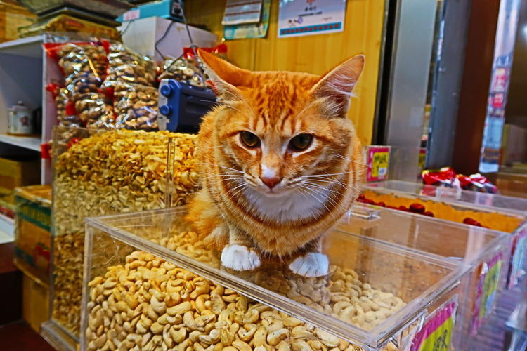 Animal Pets Cat