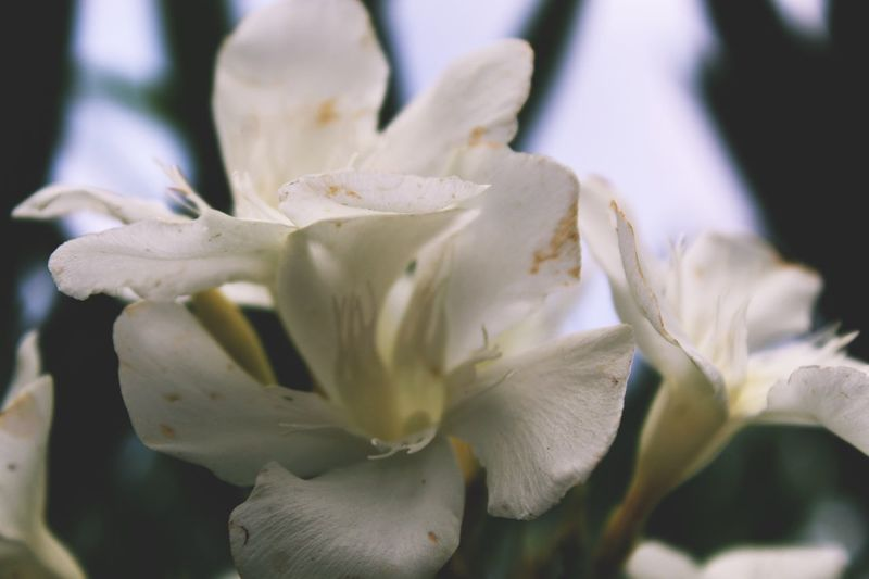 French Photographer Melyssa Photography Photography France EyeEm Flowering Plant Flower Plant Beauty In Nature Vulnerability  Petal Growth Freshness Fragility Nature Day No People Selective Focus Focus On Foreground White Color Flower Head