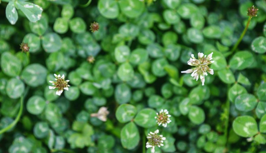 Clover Trifolium Botany Taking Photos Feeling Creative OpenEdit EyeEm Best Shots Freshness EyeEm Nature Lover Nature High Angle View Flower Head Flower Leaf Close-up Plant Green Color In Bloom Blooming