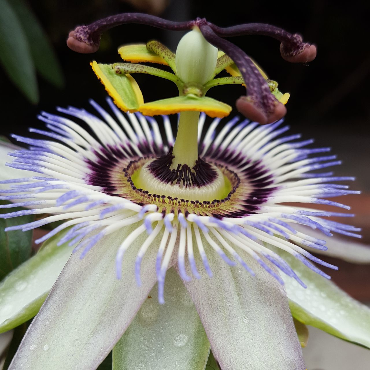 flower, petal, growth, fragility, freshness, beauty in nature, flower head, nature, plant, passion flower, close-up, stamen, pollen, no people, outdoors, day, blooming, springtime