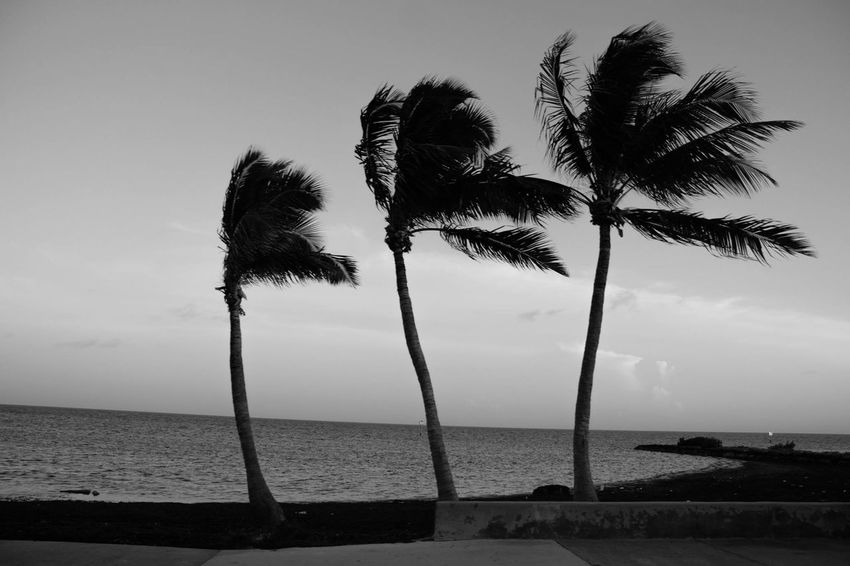 Beach Blackandwhite Breeze Evening Horizon Over Water Hurricane Lean Nature Outdoors Palm Tree Palms Postcard Sand Sea Sky Sway Three Tilt Tranquility Trip Tropical Tropical Storm Vacations Water Wind