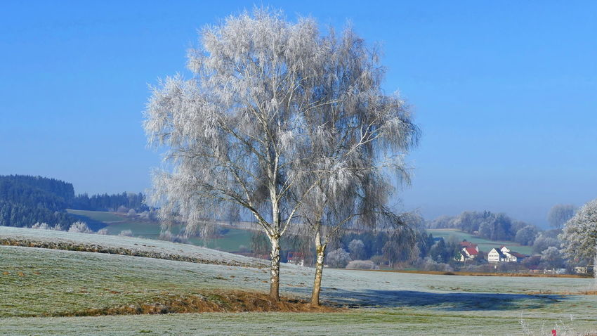 birch in winter Frozen Beauty In Nature Birch Tree Blue Clear Sky Day Environment Field Frozen Nature Land Landscape Nature No People Outdoors Plant Rime Rime On Tree Scenics - Nature Sky Tranquil Scene Tranquility Tree Water