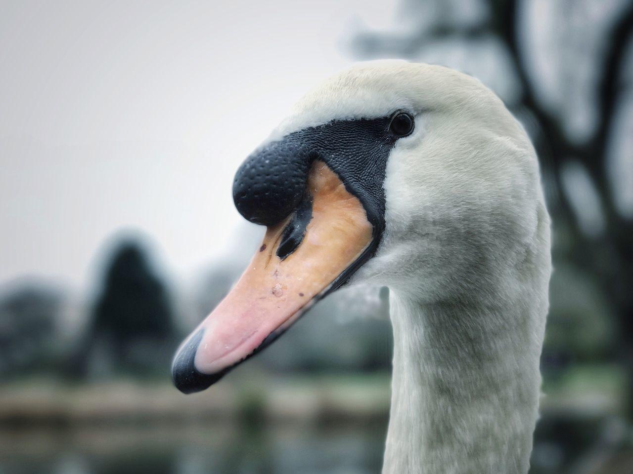 bird, animals in the wild, animal themes, focus on foreground, beak, one animal, animal wildlife, no people, day, close-up, outdoors, nature, lake, swan