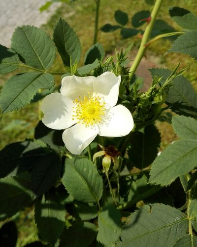 Piccolo candido fiore... Huaweiphotography Flower piWhite Flower Roses Taking Photos Naturelovers Nature Greenwhiteandyellow Pic