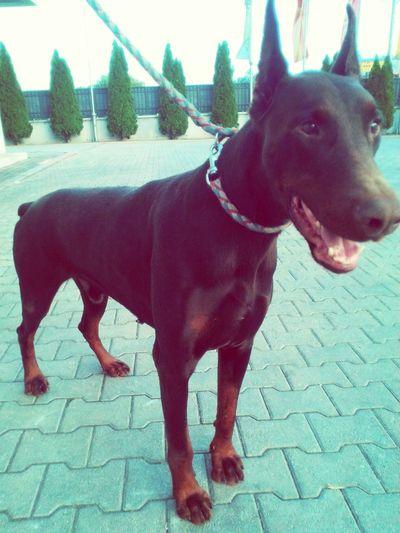 I Love My Dog Doberman I Love My Dog Doberman Aron