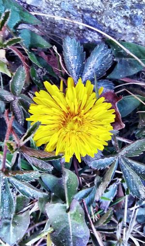 The sun came out !! ~ Beautiful Flower In Portland Maine USA Happiness Nature_perfection Beauty In Nature Springtime No People Tranquility Spring Flowers Nature Lover Color Of Life Loving The Landscape Happy Moment Flower Head Flower Yellow Leaf Close-up Plant Blooming Wildflower Dandelion Uncultivated