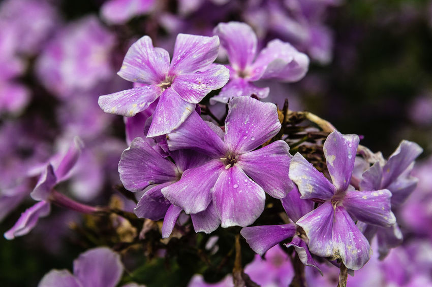 'Eva Cullum' is a free-flowering upright perennial with mid-green leaves. The deep pink flowers with darker centres appear from summer to early or mid autumn. https://www.rhs.org.uk/Plants/72974/i-Phlox-paniculata-i-Eva-Cullum/Details Phlox Beauty In Nature Close-up Flower Flower Head Outdoors Petal Purple