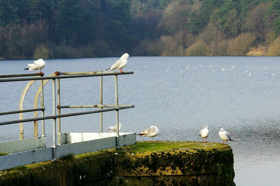 Bird Nature Gulls ForestWater Yorkshire Ogden No People Lake Beauty In Nature Perching Day Nature Reserve Outdoors Swan Black Headed Gull Beauty In Nature Gulls Birds Reflection Water Surface Landscape Tranquility Resevoir Halifax