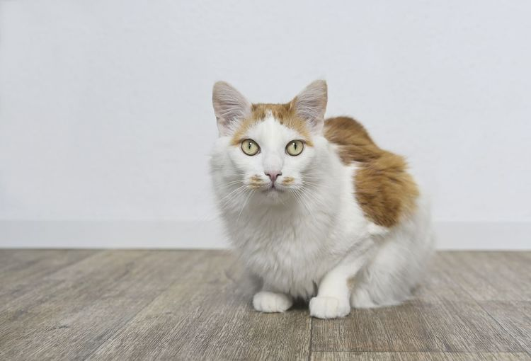 Cute longhair cat sitting on the floor and looking straight to the camera.