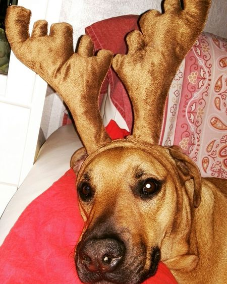 Taking Photos Hello World Relaxing Enjoying Life Happyness Dog❤ Dicember Bestfriend Christmas Is Coming Lovely Christmas Spirit Loveyou Uan Poorme Renna Aiutante Di Babbo Natale Corna