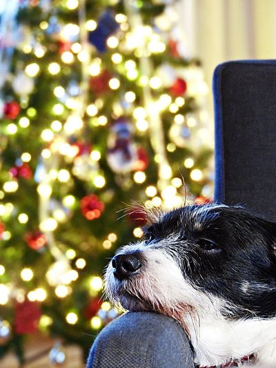 One Animal Canine Dog Domestic Pets Domestic Animals Mammal Animal Animal Themes Focus On Foreground Tree Vertebrate Christmas Holiday Celebration christmas tree Looking Close-up Decoration Illuminated Animal Head  Small